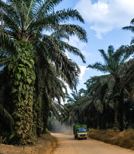 Dump trucks transporting oil-palm fruits ply the dirt roads inside the palm oil concession around the clock